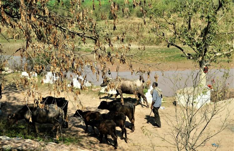 buffalo-grazer